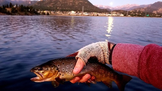 Rocky Mountain Brown Trout