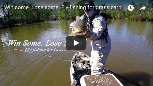 Win some.  Lose some.  Grass carp on the fly (video)