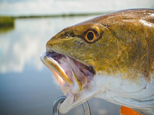 High Water Redfish