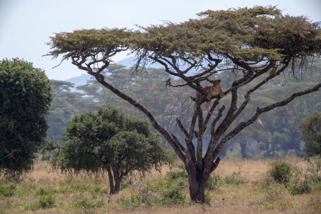 conservation lion safari kenya